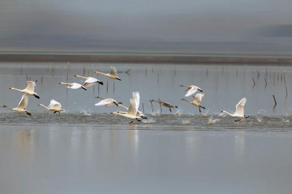 位于安微天长市杨村镇湖边村,小时候光听大人说叫(大圹围),这地方是高邮湖的另一边,围堤坝外一侧有着清澈湖水和美丽的芦苇荡,堤坝的内侧就是鱼民们赖以生存的千亩鱼塘,每到傍晚黄昏时刻夕阳和美丽的千亩鱼塘成了一道独特的风景线,冬至时各种迁途的鸟儿都来到这里,其中有国家鸟类二级保护动物几十种,最常见有小天鹅,大雁,反嘴鹬等,然而这一切即将永远消失.